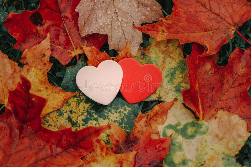 Two pink red small foam hearts lying on ground in autumn fall red yellow orange maple leaves royalty free stock photo