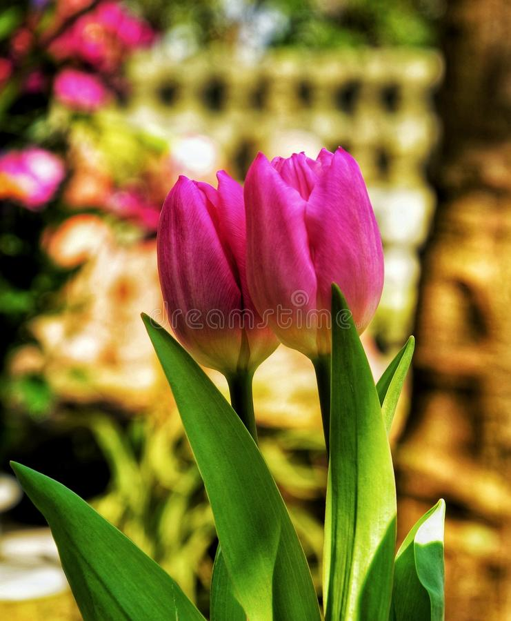 Two Pink Tulip Flowers stock photography