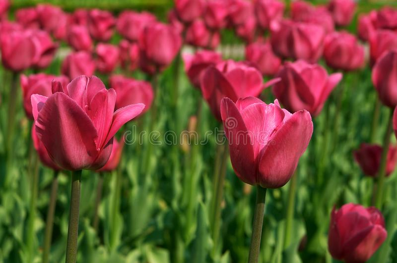 Two pink tulips royalty free stock photo