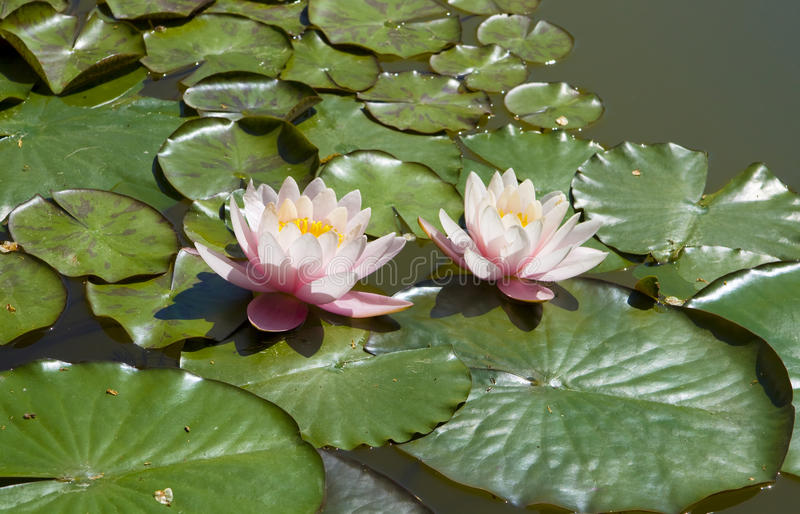 Two pink water lilies stock images