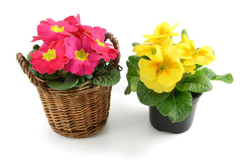 Two pink yellow potted primula (primrose) on isolated background stock photo