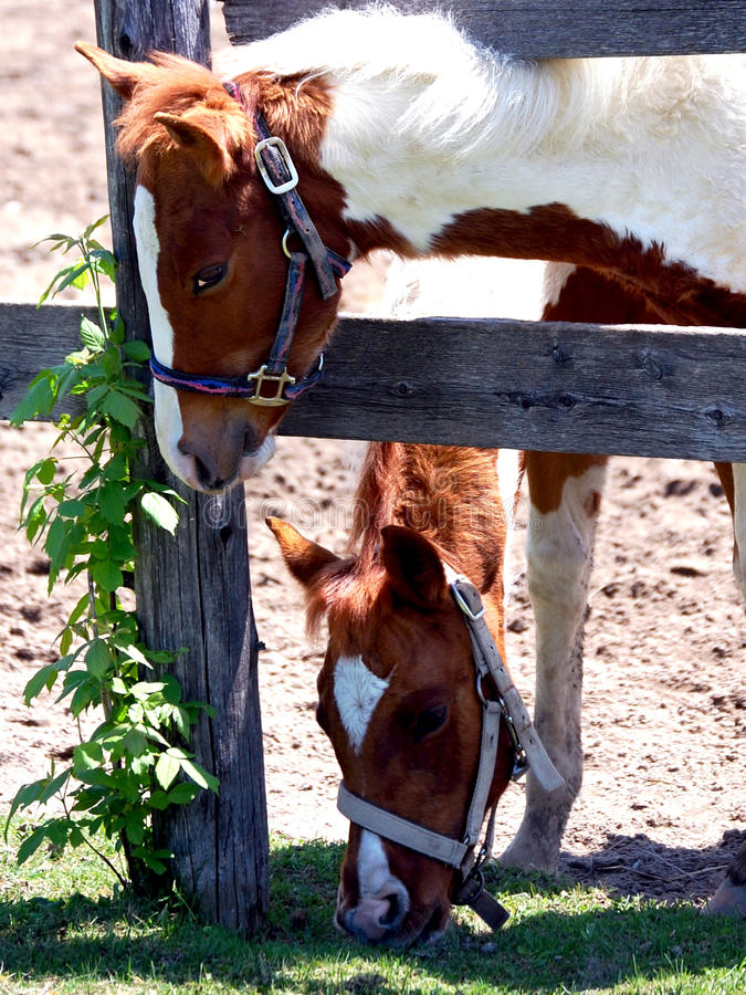 Two Pinto Foals stock photography