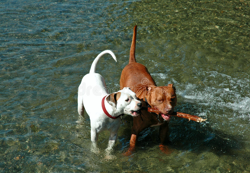 Download Two Pit Bull Dogs With Stick Stock Image - Image: 1853997