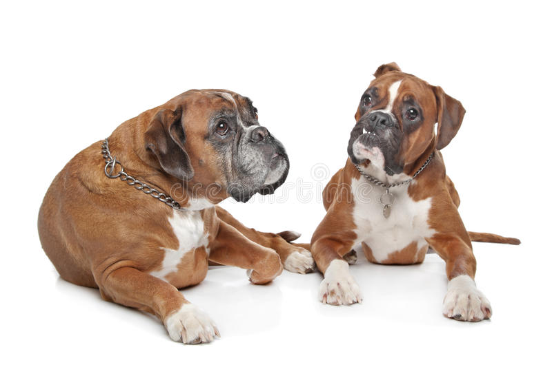 Two Plain Fawn Boxer Dogs Stock Images