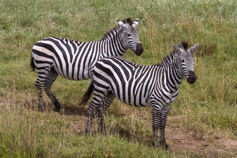 Two Plains Zebra Mares Standing stock photos
