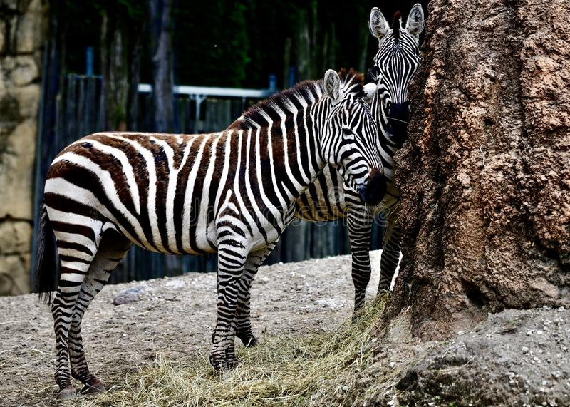 Two Plains Zebras. This is a Summer picture of two Plains Zebras in their compound in the Lincoln Park Zoo located in Chicago, Illinois in Cook County.  This stock photo