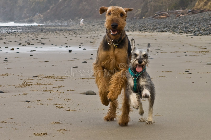 Two playful dogs run on beach stock photos
