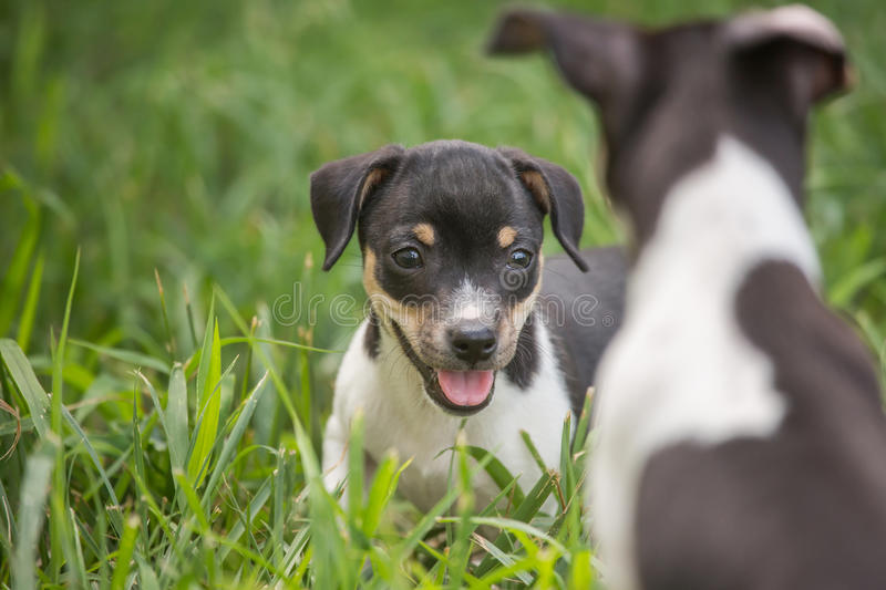 Two playful puppies royalty free stock photos