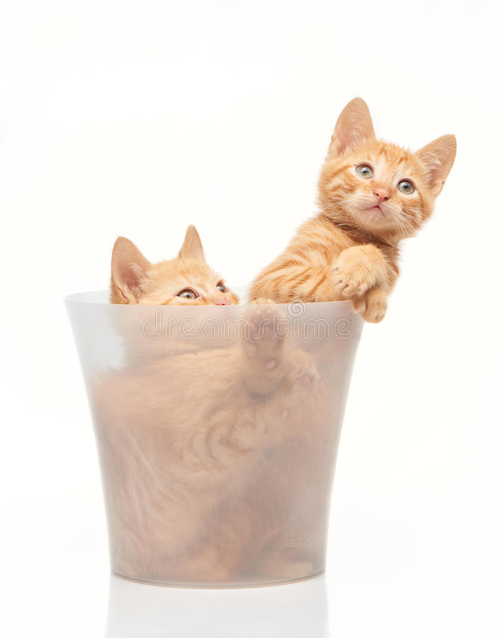 Two playful red kittens sitting in clear bucket stock photo