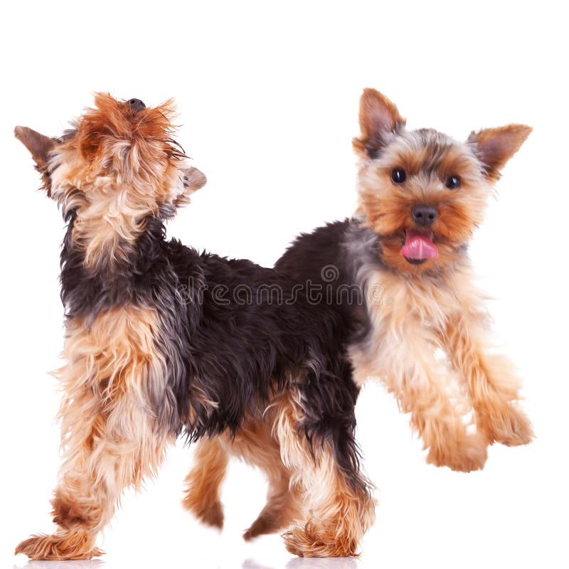 Download Two Playful Yorkshire Puppy Dogs Stock Photo - Image: 24765860