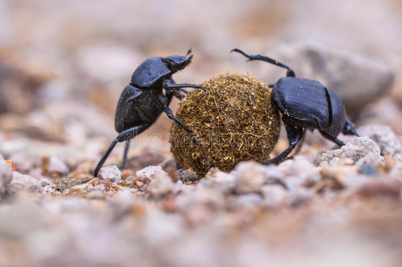 Two plugging dung beetles. Two dung beetles making an effort to roll a ball through gravel stock photo