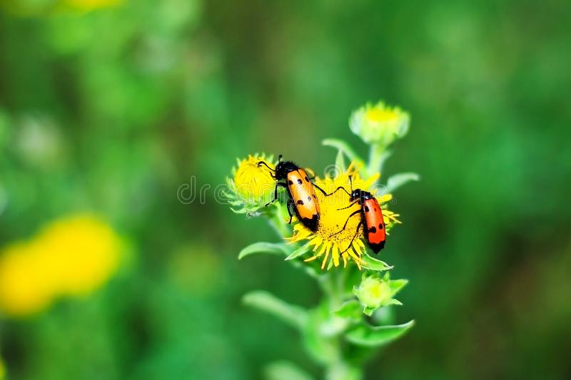 Two poisonous blister beetles sitting on a yellow flower stock photos