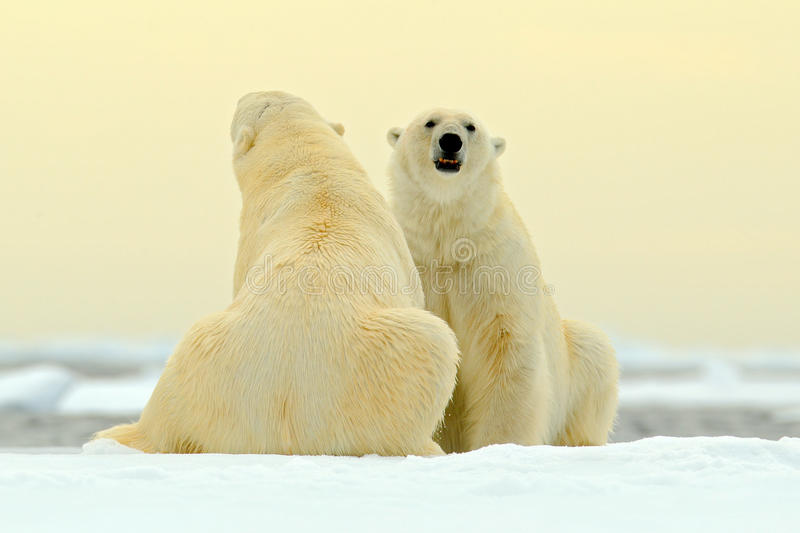 Two Polar bear couple cuddling on drift ice in Arctic Svalbard. Bear with snow and white ice on the sea. Cold winter scene with da. Ncing bears stock images