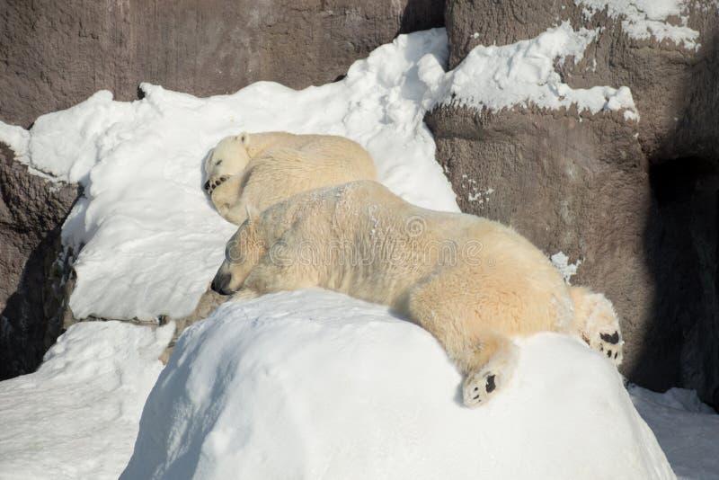 Two polar bear cub is sleeping on the white snow. Ursus maritimus or Thalarctos Maritimus stock photography