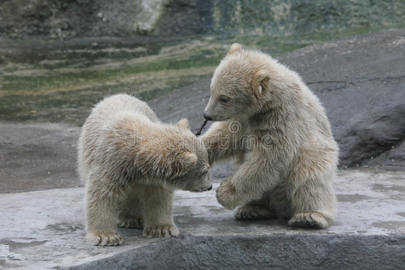 Two polar bear cubs. (Ursus maritimus stock photos