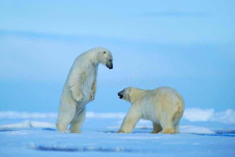 Two polar bear fighting on drift ice in arctict Svalbard stock photo