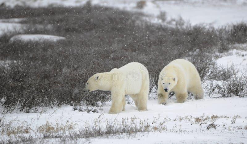 Two polar bears. royalty free stock photography