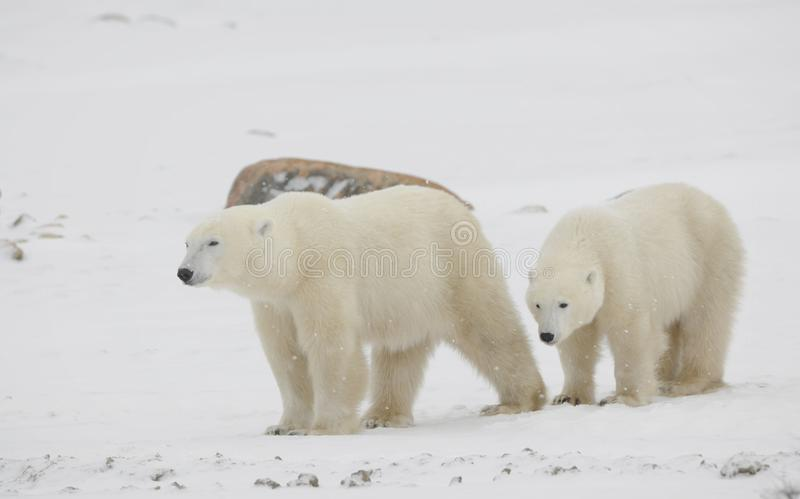 Two polar bears. royalty free stock photo