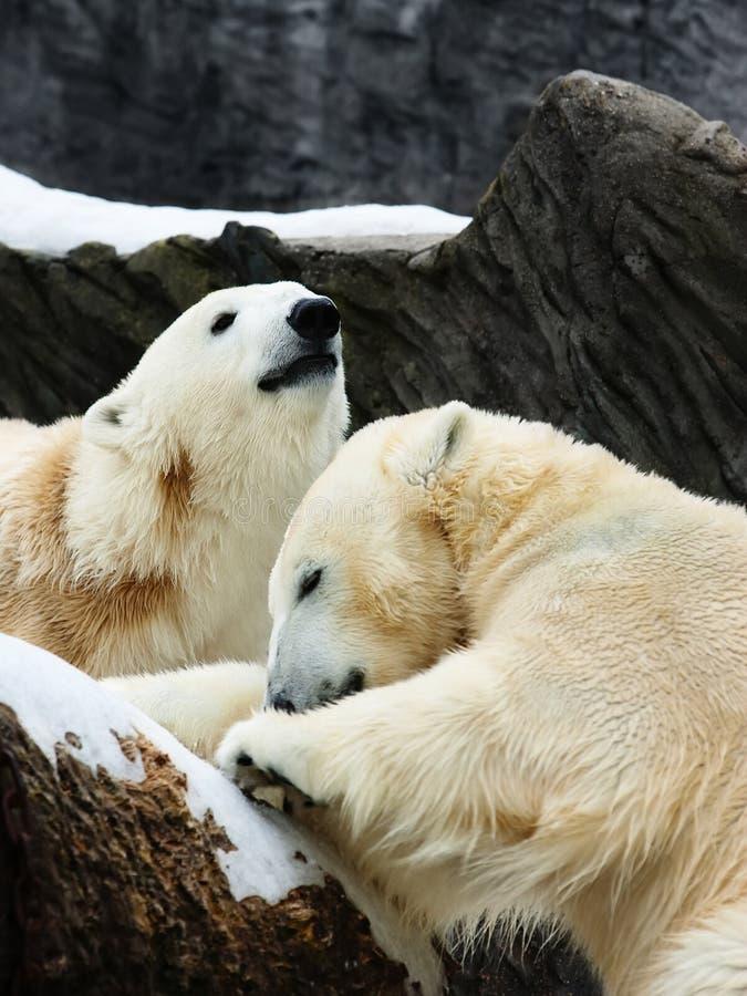 Download Two Polar Bears Royalty Free Stock Photo - Image: 17824985
