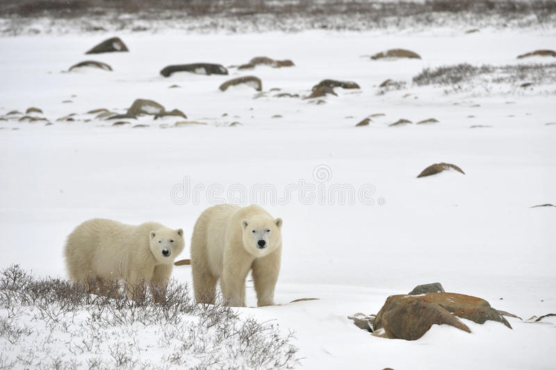 Download Two polar bears. stock photo. Image of maritimus, polar - 18459818