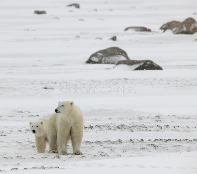 Two polar bears. 2 royalty free stock images