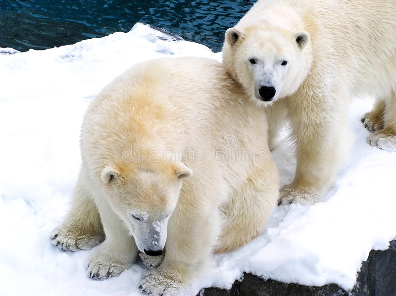 Two Polar Bears Close Together Royalty Free Stock Image