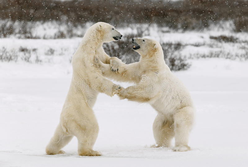Two polar bears play fighting. royalty free stock photos