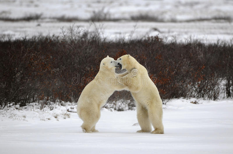 Two polar bears playfighting royalty free stock images