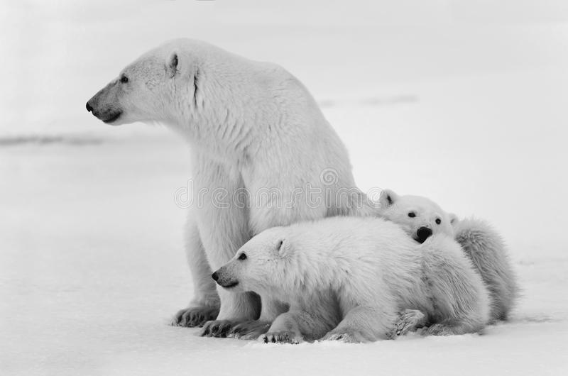 Two polar bears playfighting stock images