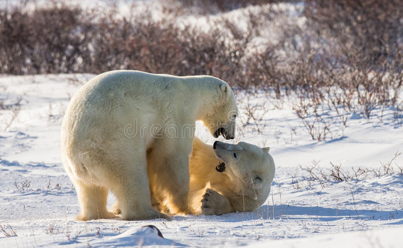 Two polar bears playing with each other in the tundra. Canada. An excellent illustration stock photos