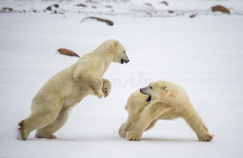 Two polar bears playing with each other in the tundra. Canada. An excellent illustration stock images