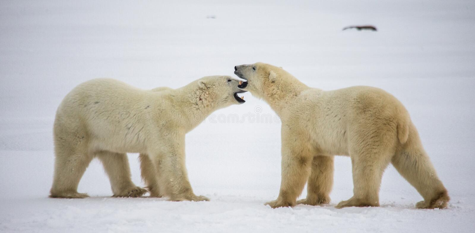 Two polar bears playing with each other in the tundra. Canada. royalty free stock images