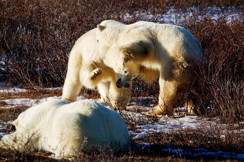 Two polar bears playing royalty free stock photos