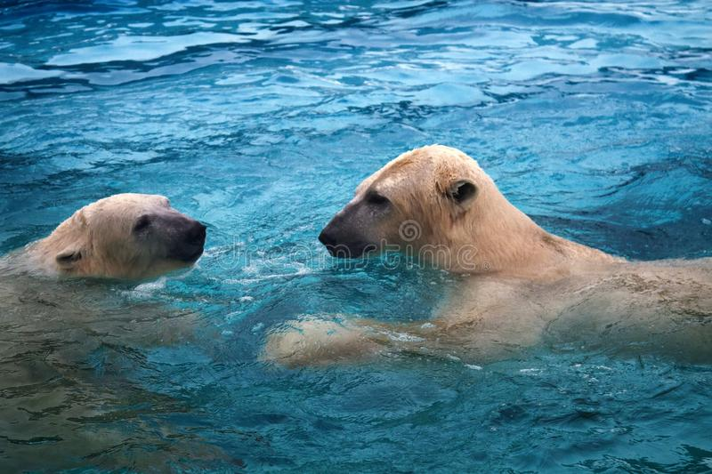 Two polar bears playing in water stock images