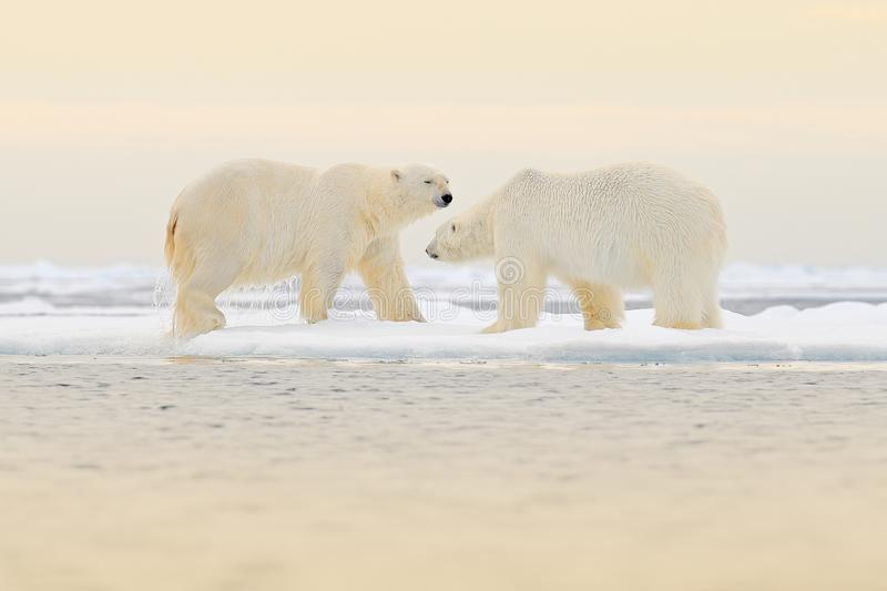 Two Polar bears relaxed on drifting ice with snow, white animals in the nature habitat, Svalbard, Norway. Two animals playing in. Snow, Arctic wildlife. Funny royalty free stock photos
