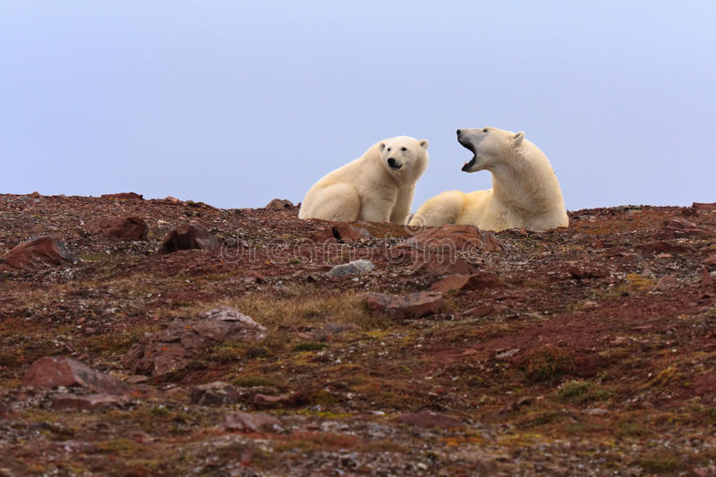 Two Polar Bears on Rocky Hill stock images