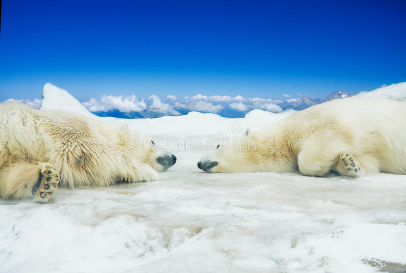 Download Two Polar Bears Sleep On Ice Stock Photo - Image: 23542714