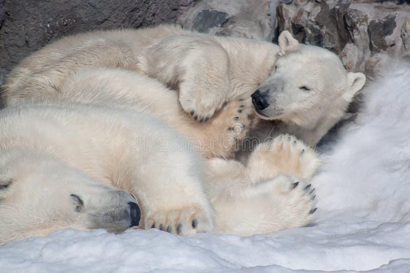 Two polar bears sleeping on white snow. royalty free stock photo