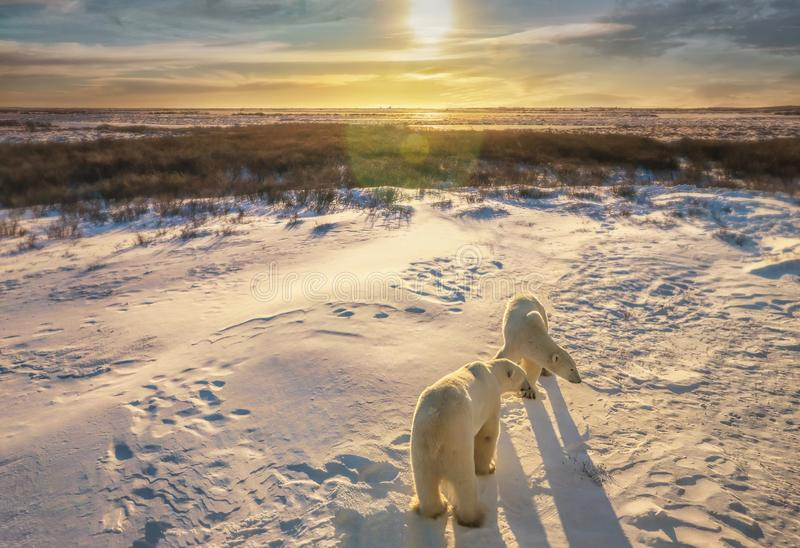 Two polar bears in their natural habitat. royalty free stock photography