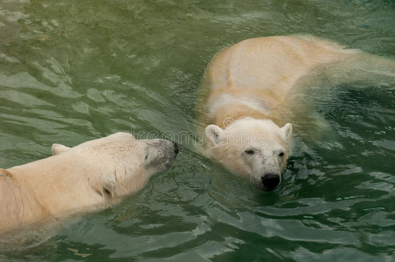 Download Two polar bears in water stock photo. Image of play, ursus - 16254294