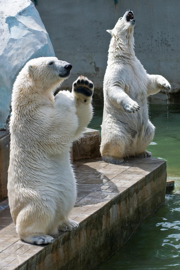 Download Two polar bears in the zoo stock image. Image of carnivoure - 15119403