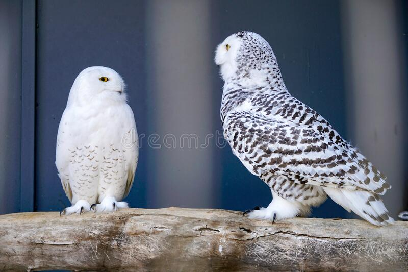 Two polar owls in the aviary. On a gray background, birds sit on a branch and look at each other, predators stock photo