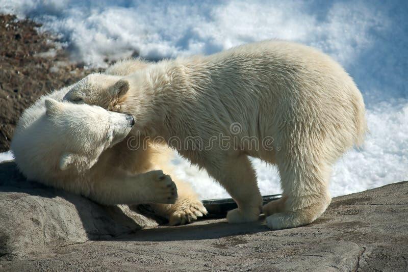 Two polar white bear