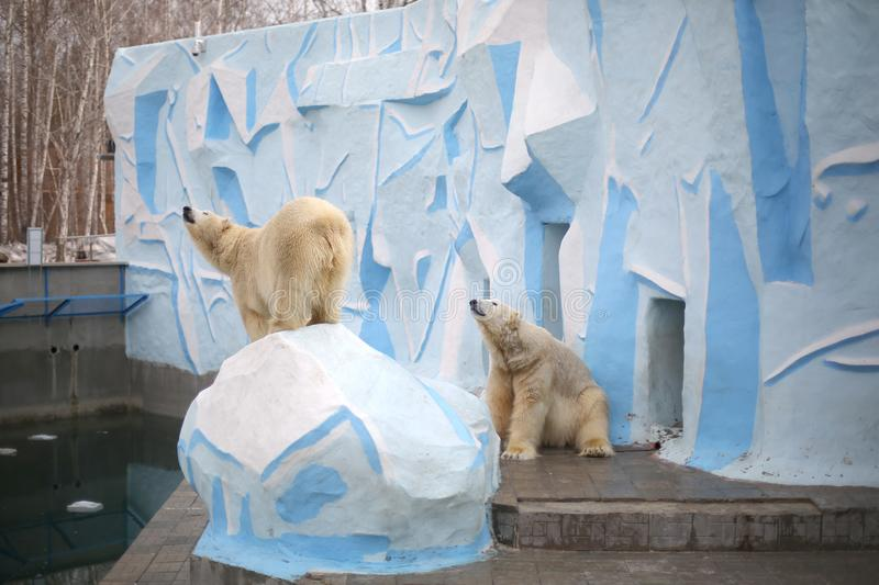 Two polar white bear in the zoo royalty free stock image