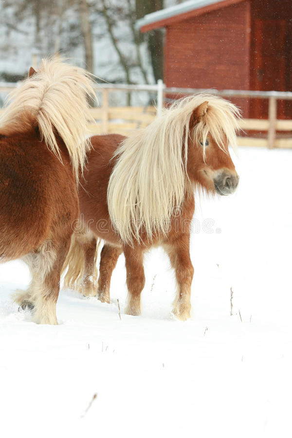 Two ponnies with long mane moving in winter stock images