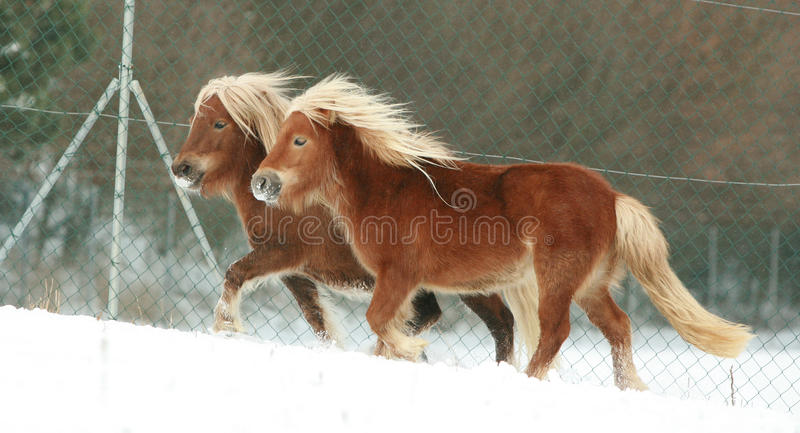 Two ponnies with long mane running in winter stock photos