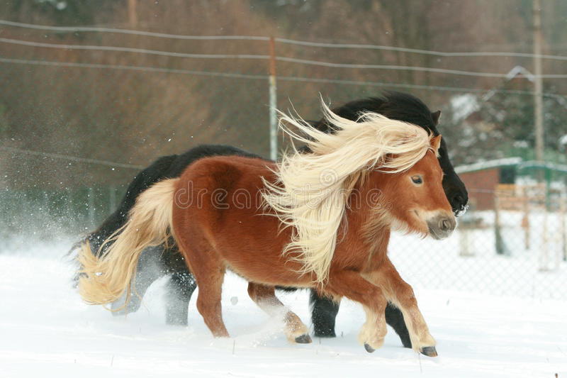 Two ponnies with long manes running in winter stock photo