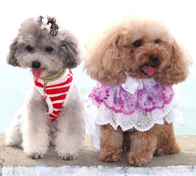 Two poodles show their modern trendy fashion. Two poodle dogs are having a fashion show and are wearing clothes and a necklace stock photos
