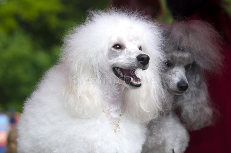 Two poodles royalty free stock images