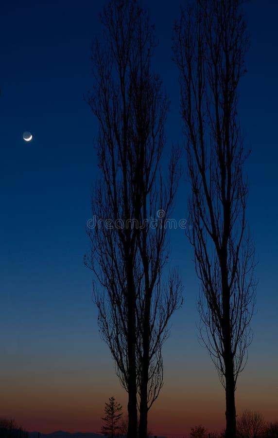 Two poplars stock photos